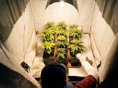 Выращивание конопли в помещении. Советы новичкам