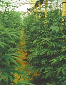Анализ почвенного и гидропонного выращивания конопли