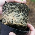 Проблема гидропонной системы: стеснение корней