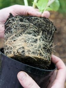 Проблема гидропонной системы стеснение корней