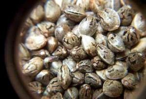 Выбираем качественные семена марихуаны