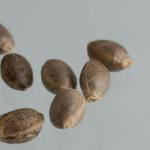 Поиск здоровых семян марихуаны