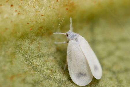 Вредители растений Белокрылка