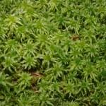 Сфагнум (Sphagnum)