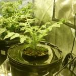 Глубоководный метод выращивания конопли