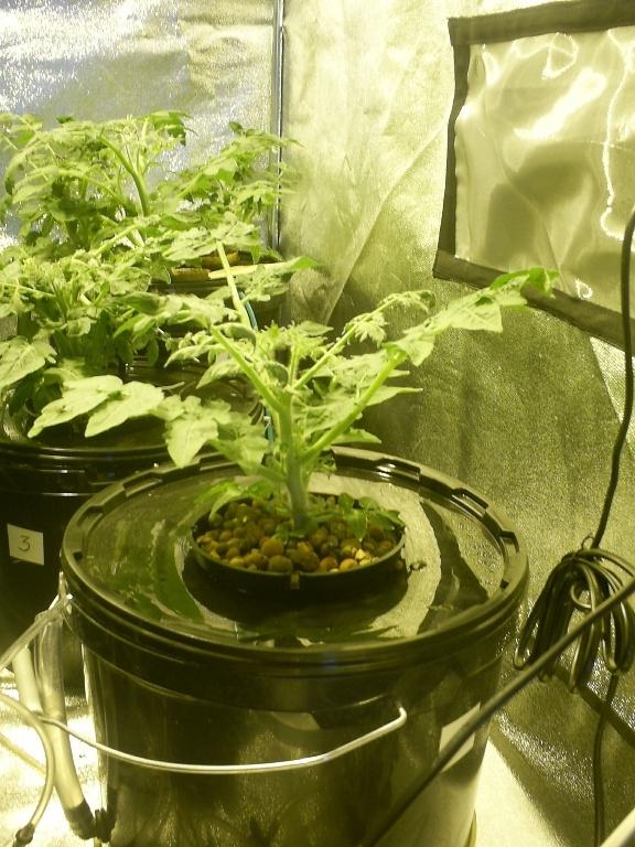 Выращивание гидропоники конопли дома семена конопляные почтой в россии
