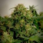 Автоцветущие сорта марихуаны