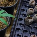 Укоренение клонов и поддержка материнских растений