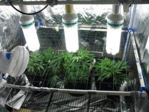 свет-для-выращивания-конопли