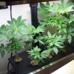 Гидропонная установка для марихуаны