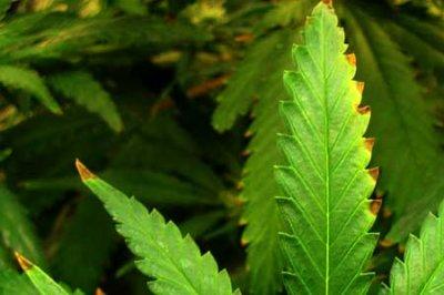 1403144233_cannabis-nutrient-burn-sm