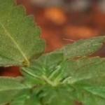Как вырастить дома всего один куст марихуаны (Часть 1)