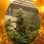 выращивани е марихуаны в индоре