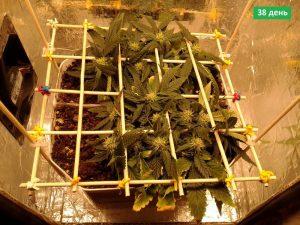 тридцать восьмой день полсе посадки семян каннабиса