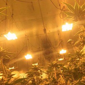 выращивание каннабис