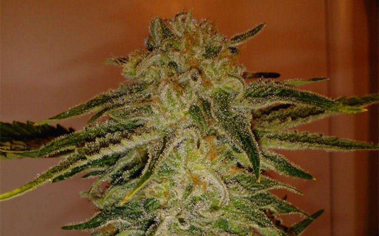 конопля, выращивание конопли, выращивание марихуаны, марихуана,