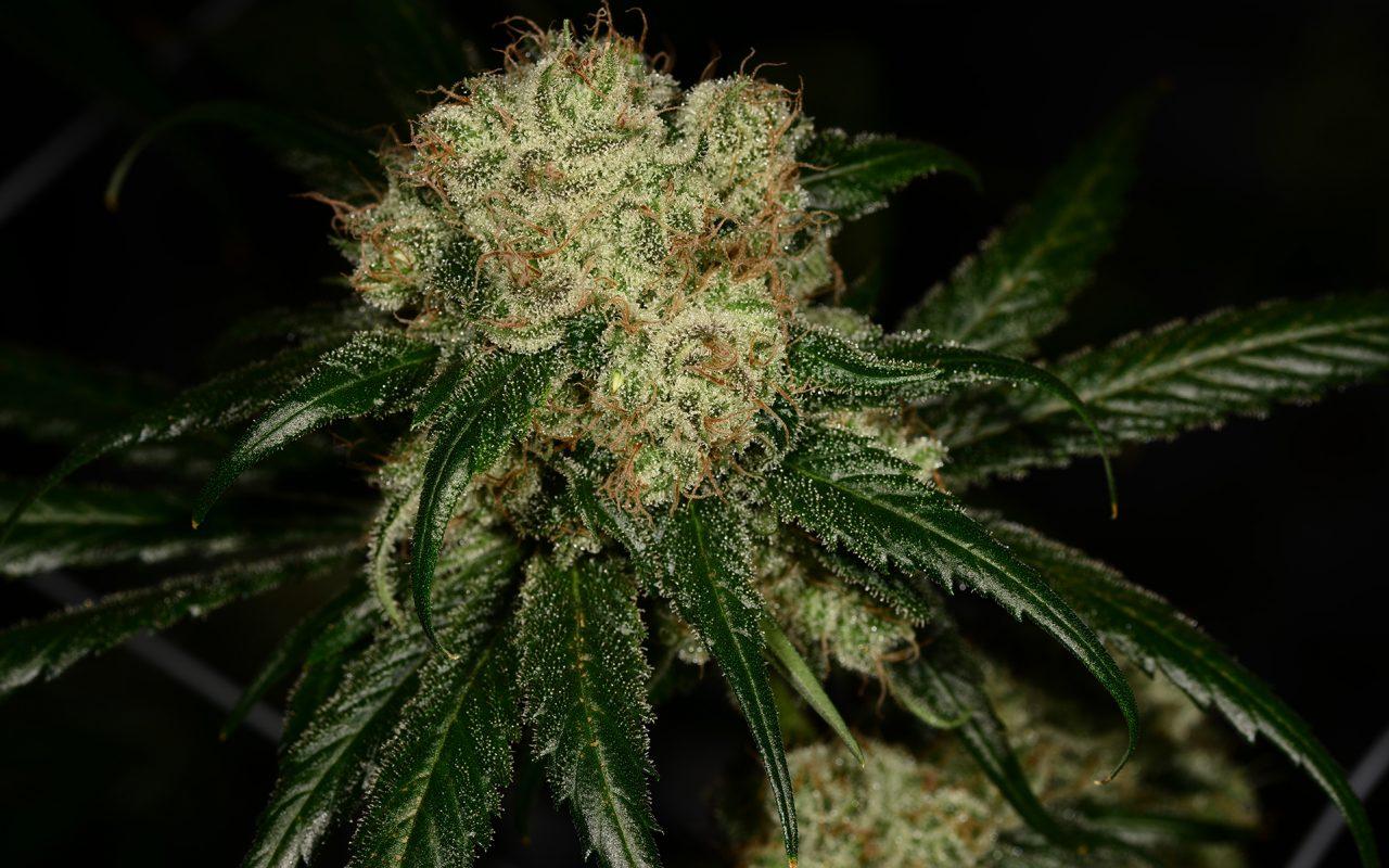 конопля, выращивание марихуаны, выращивание конопли, сорта конопли,
