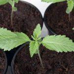 Самые легкие для выращивания сорта каннабиса