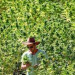 Федеральное правительство США ищет культиваторов для выращивания тысяч килограммов конопли