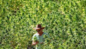 выращивание марихуаны, проращивание конопли,