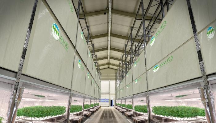 выращивание конопли, марихуана,