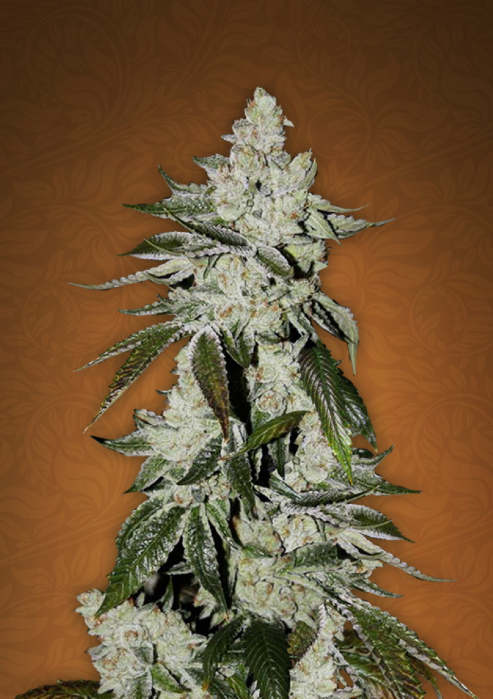 gsc strain stamm review girl scout cookies