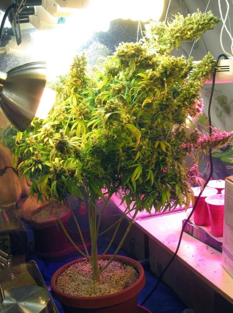 Лампы для выращивания марихуаны