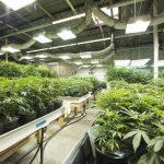Особенности выращивания марихуаны в гидропонике