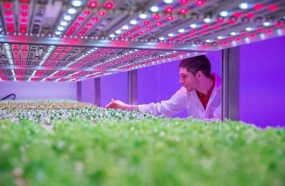 влияние освещения марихуаны на урожайность